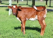 SWEEPSTAKE HEIFER EMBRYO #1